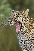 Portrait of Leopard yawning in the savannah - Masai Mara