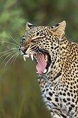 Portrait of Leopard yawning in the savannah - Masai Mara