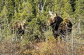 Female Moose and her young on the lookout - PN Gaspe Quebec