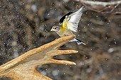 Male Evening Grosbeak on Moose antler in winter - Quebec