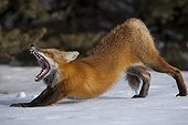 Red Fox stretching in the snow - Gaspe NP Quebec Canada