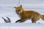 Red fox chasing a gray squirrel in snow - Quebec Canada
