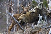 Female moose and her young newborn - PN Gaspe Quebec