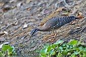 Sunbittern on the bank - Pantanal Brazil