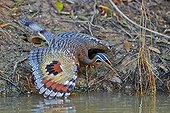 Sunbittern spreading its wings - Pantanal Brazil