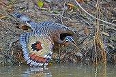 Caurale soleil déployant ses ailes - Pantanal Brésil