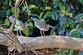 Couple of Sunbitterns on a branch - Pantanal Brazil