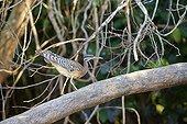 Sunbittern on a branch - Pantanal Brazil