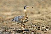 Sunbittern walking on bank - Pantanal Brazil