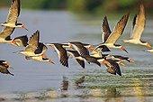 Black Skimmers in flight above water - Pantanal Brazil