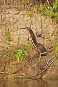 Rufescent Tiger Heron on riverbank - Pantanal Brazil