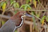 Portrait of Rufescent Tiger Heron - Pantanal Brazil