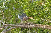 Young Rufescent Tiger Heron at nest - Pantanal Brazil