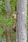 Black-tailed marmosets on a trunk - Pantanal Brazil