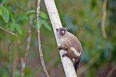 Black-tailed marmoset on a trunk - Pantanal Brazil