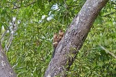 Black-tailed marmosets on a trunk - Pantanal Brazil ; one adult is gromming a female with a young