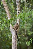 Black-tailed marmoset on a branch - Pantanal Brazil
