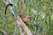 Black-tailed marmosets on a branch - Pantanal Brazil