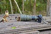 Black-tailed marmosets and camera - Pantanal Brazil