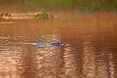 Loutre géante dans l'eau - Pantanal Brésil