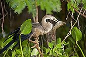 Anhinga eating a fish on a branch - Pantanal Brazil