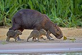 Capybara and young on bank - Pantanal Brazil