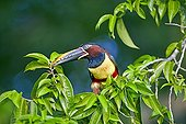 Chesnut Eared Aracari on a branch - Pantanal Brazil