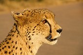 Portrait of Cheetah at dusk - Kruger South Africa