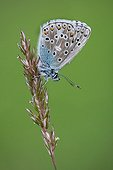 Common blue on ear in spring - Alsace France