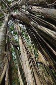 Malaysia Banyan in forest - Kuala Selangor Malaysia