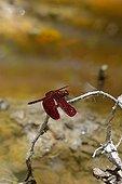 Grasshawk Dragonfly on a twig - Taman Negara Malaysia