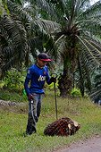 Drupes harvesting oil palm - Malaysia