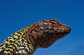 Portrait of Constanza's Tree Iguana - Guattin Oasis Chili