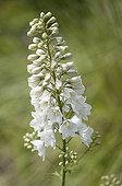 Ranunculales order ; Larkspur, Consolida regalis 'White Spire', Single stem of white flowers gradually opening from the bottom upwards.