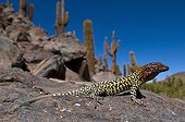 Constanza's tree Iguana on rock - Oasis Guattin Chile