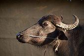 Portrait de Buffle domestique - Terai Népal