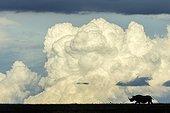 Black Rhinoceros walking in savanna and clouds - Kenya