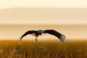 White storkin flight at the edge of a bush fire - Masai Mara