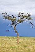 White Storks on a tree for the night - Masai Mara Kenya
