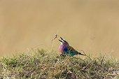 Lilac-breasted roller catching a Frog - Masai Mara Kenya