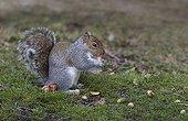 Grey Squirrel eating an acorn - GB