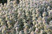 Phlomis in bloom in a mediterranean garden