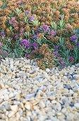 Germander in bloom in a mediterranean garden