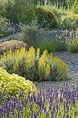 Lavender cotton in bloom in a mediterranean garden