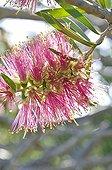 Bottlebrush in bloom in a mediterranean garden