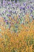 Lavender in a mediterranean garden
