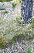 Feather grass in a mediterranean garden