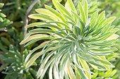 Mediterranean spurge in a mediterranean garden ; Euphorbia characias subsp. wulfenii