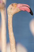 Portrait de Flamant rose - Camargue France