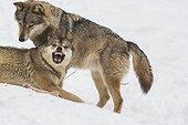 Interaction entre Loups dans la neige - Pyrénées France